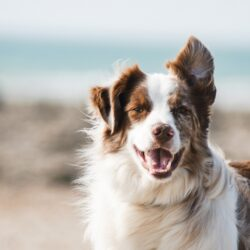 tooth avulsion dog - white and brown dog outdoors in the wind