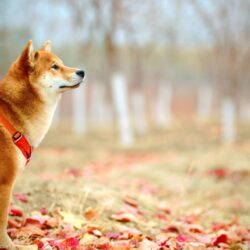 dentigerous cyst dog - sheba inu with red harness standing in fall leaves