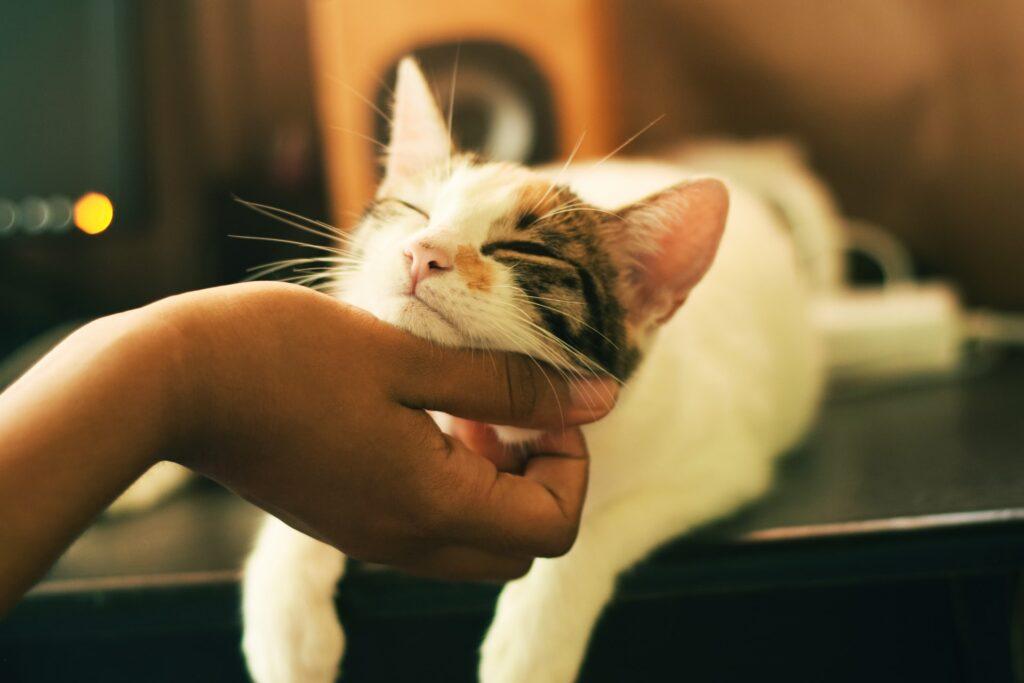 Feline Juvenile Onset Gingivitis/Periodontitis (FGOG/P)
