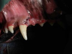 Avulsed Canine Tooth in dog after repair