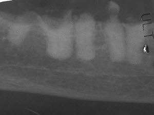 Inappropriately treated resorption in cat - vet dentistry