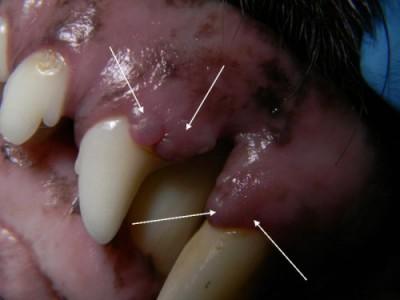 gingival hyperplasia in dog