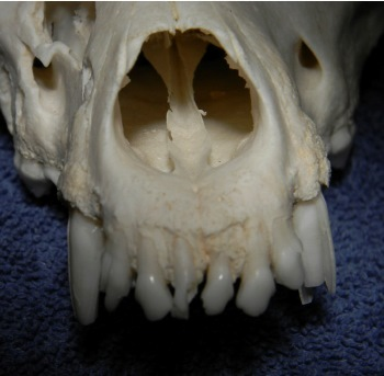 Figure 5. The maxillary canines and incisors are located close to the nasal passages.