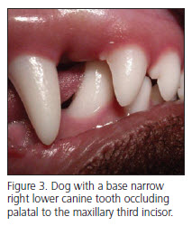 Dog with base lower canine tooth occlusion - Veterinary Dentistry