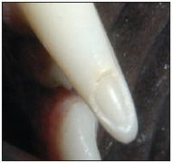 Figure 2. Picture of a fractured pet tooth, with exposure of the dentin. Note the thin layer of enamel.