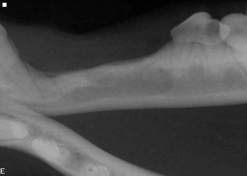 Radiograph 16 months after the initial dentigerous cyst surgery in dog
