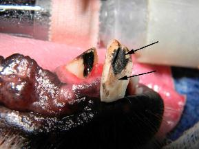 Figure six showing the MTA and adjacent dentin bridge - vet dentistry