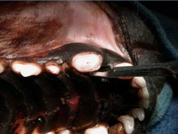 Oronasal Fistula on Dog - Vet dentistry