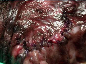 After closure of oronasal fistula - vet dentistry