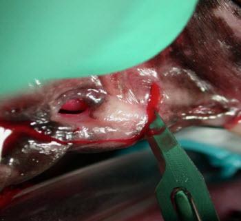 oronasal fistula incisions - vet dentistry