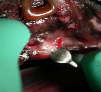 Canine Oronasal Fistula Repair - Vet dentistry