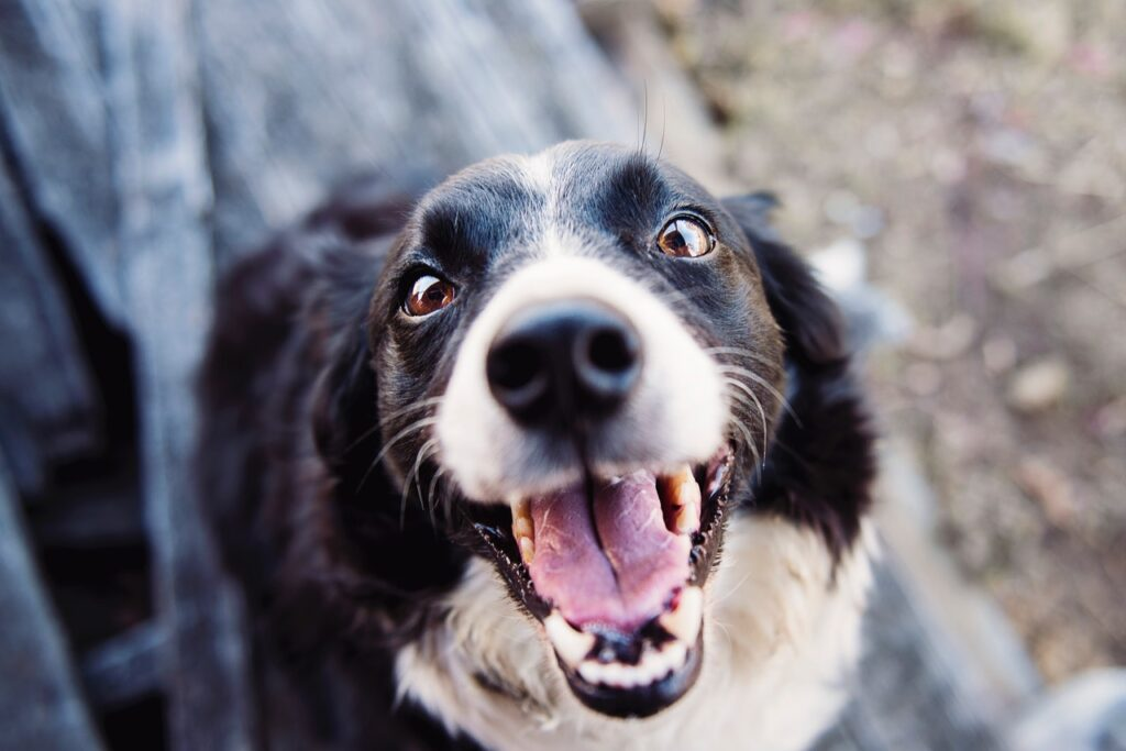 How to Treat an Abscessed Dog Tooth