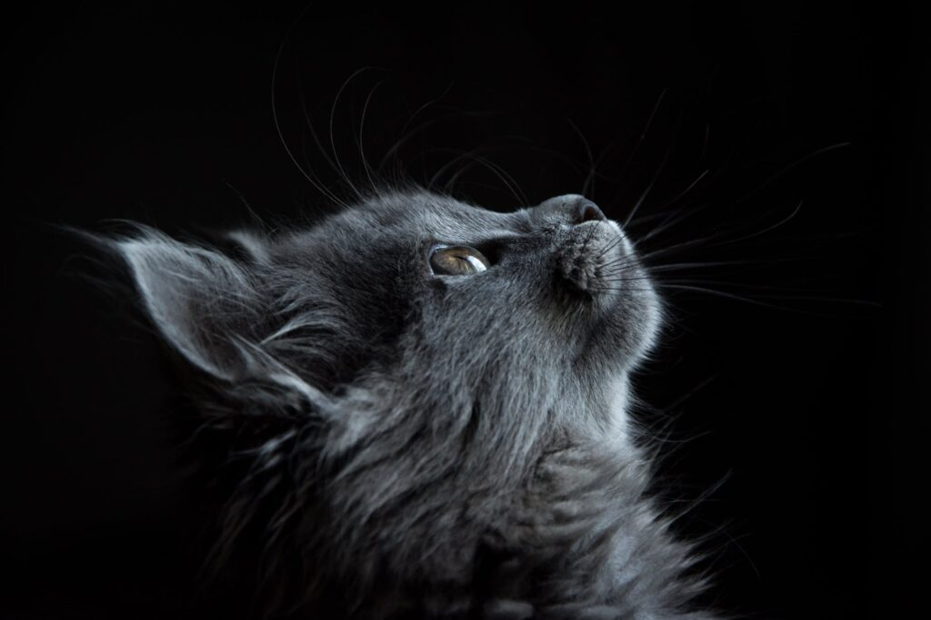 Diagnosing and Treating Stomatitis in Cats