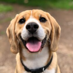 canine root canal - beagle smiling