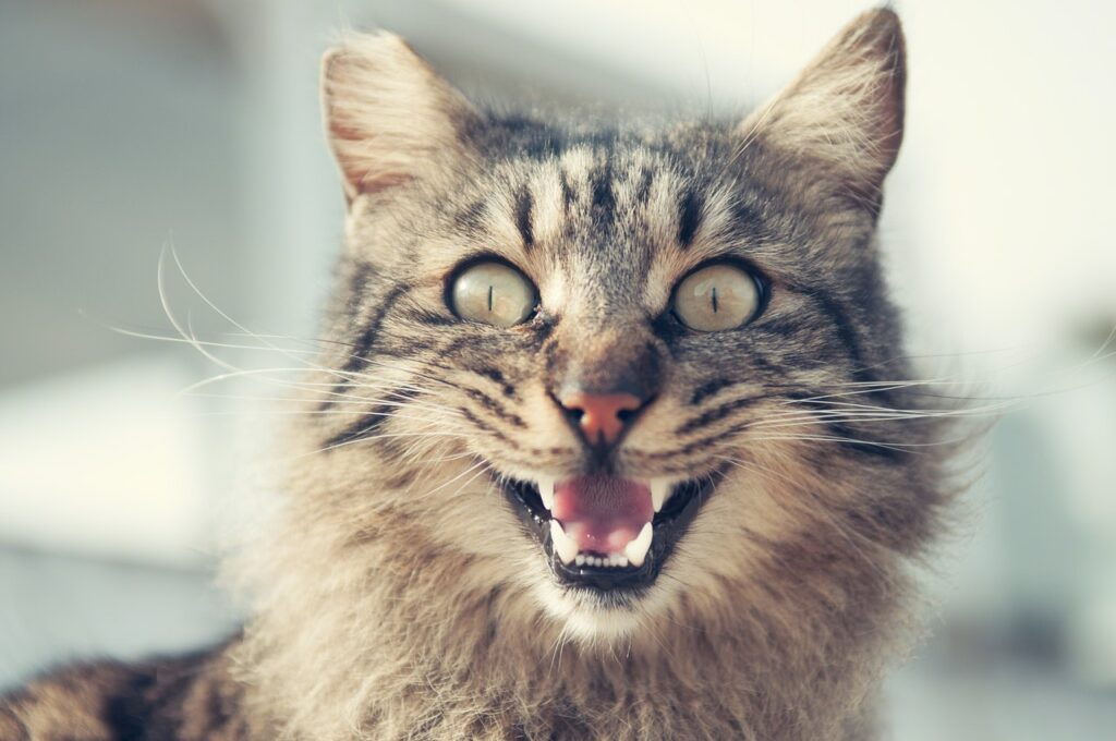 What is Tooth Resorption in Cats and How is it Treated?