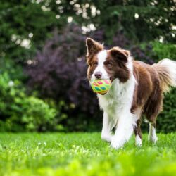 dog tooth extraction - brown and white collie running