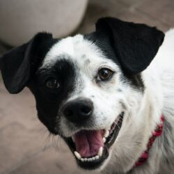 tooth grinding in dogs - black and white dog